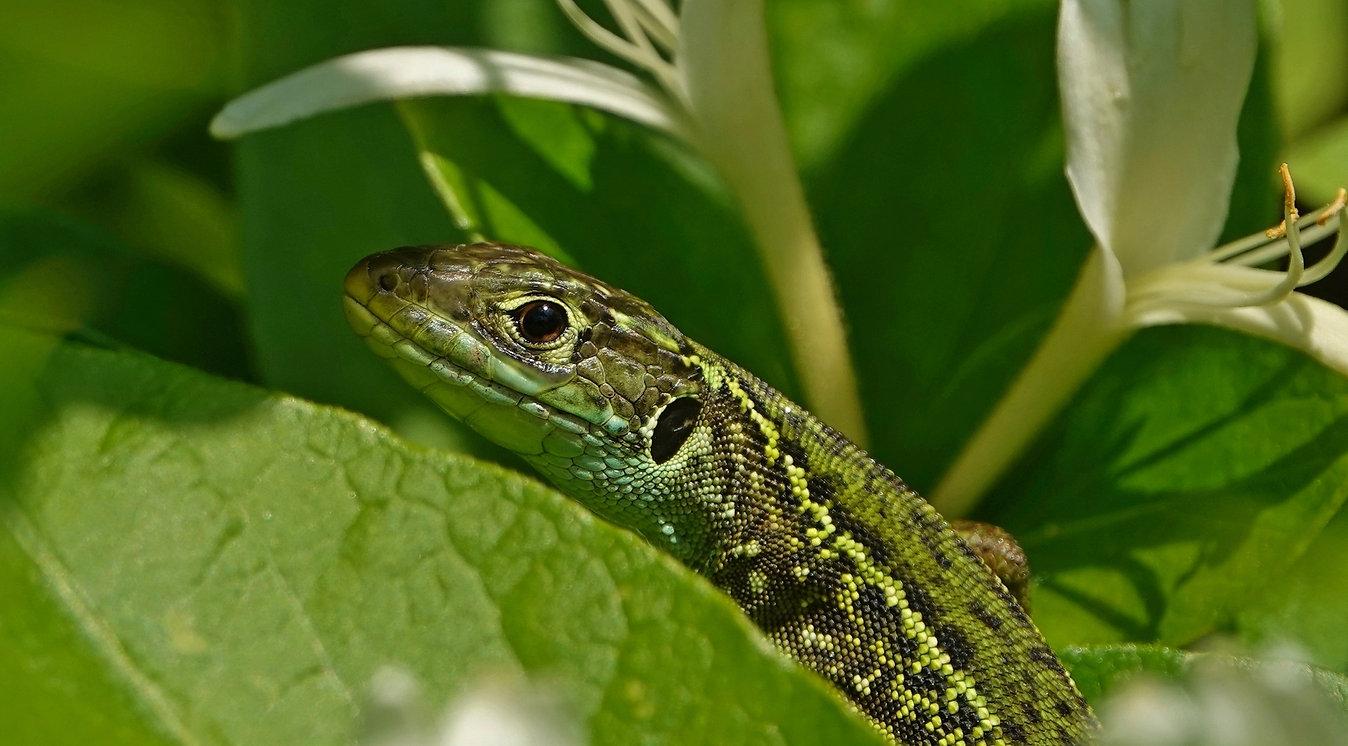 Western Green Lizard | Lacerta Bilineata | Subadult Female | Monteggio (Ticino), Switzerland | May 2021