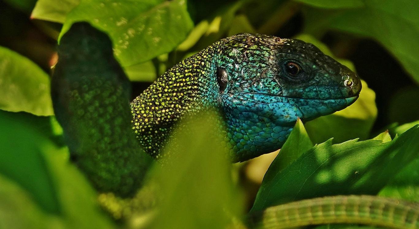 Western Green Lizard | Lacerta Bilineata | Adult Male & Female | Monteggio (Ticino), Switzerland | May 2021