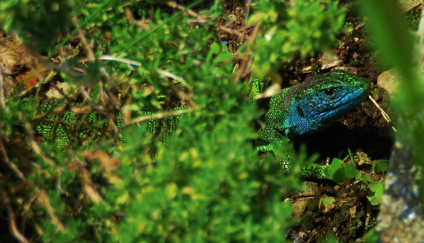 Western green lizard (lacerta bilineata) adult male, Monteggio, June 2016
