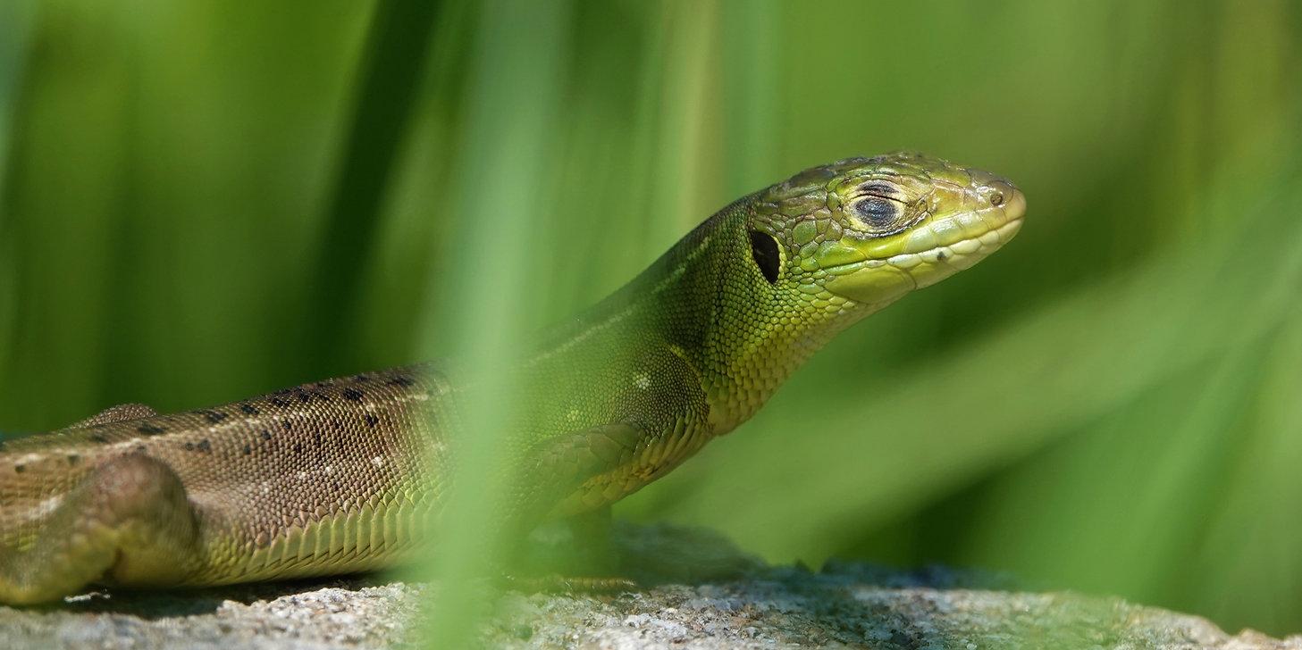 Western Green Lizard | Lacerta Bilineata | Juvenile | Monteggio (Ticino), Switzerland | May 2021