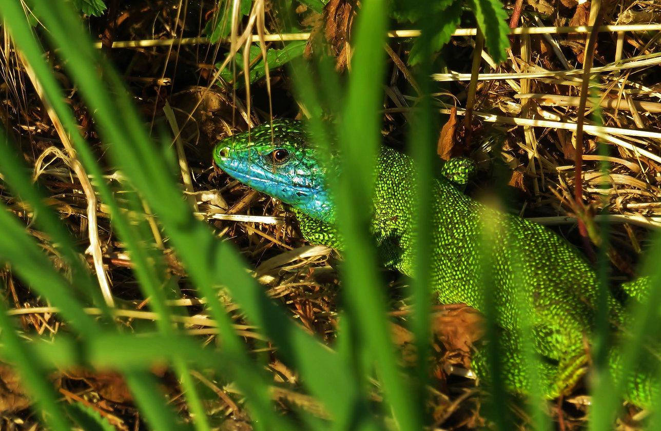 Western green lizard (lacerta bilineata), adult male hiding in grass, Malcantone, Ticino, May 2020