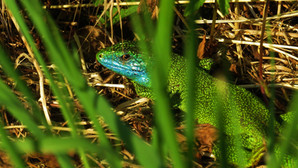 Western green lizard (lacerta bilineata), adult male, blue facial colors typical for mating season, Malcantone, Ticino, Switzerland, June 2020