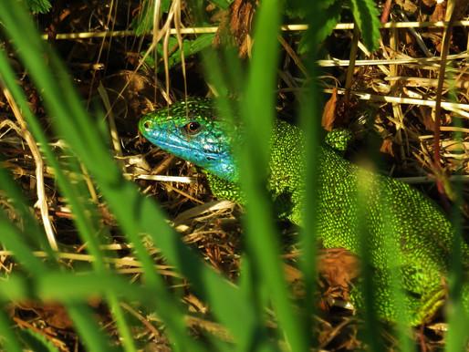 Westliche Smaragdeidechse | Lacerta Bilineata