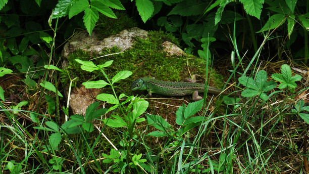 Western green lizard (lacerta bilineata), adult female, rare variation with dark green colors, Malcantone, Ticino, June 2015