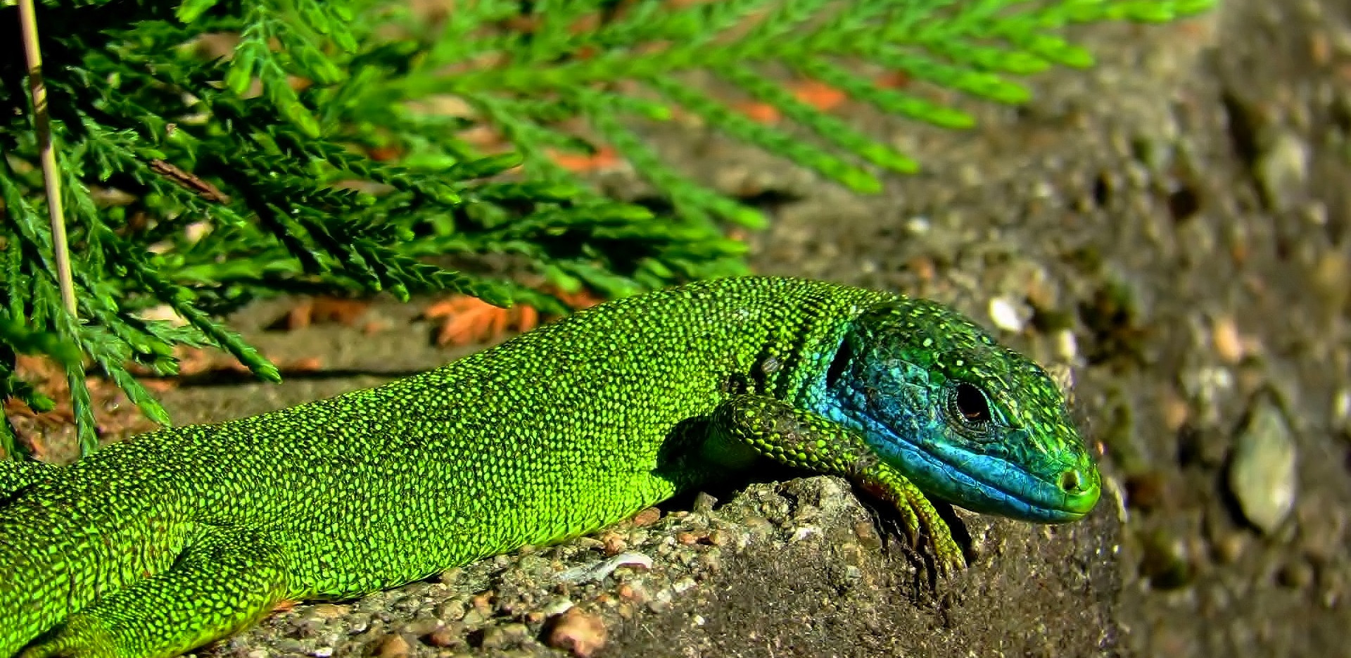 Western green lizard (lacerta bilineata), adult male, with blue facial colors typical for mating season, Malcantone, Ticino, May 2020.jpg