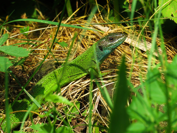 Lagarto verde occidental (lacerta bilineata), hembra adulta, Tesino, Suiza 2015