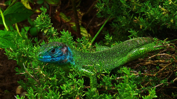 Lézard vert occidental (lacerta bilineata), mâle adulte, blessé, Malcantone, Tessin, Suisse, 2016