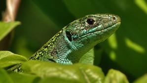 Westliche Smaragdeidechse | Lacerta Bilineata | Adultes Weibchen Zwischen Blättern Der Roten Heckenkirsche | Mai 2021