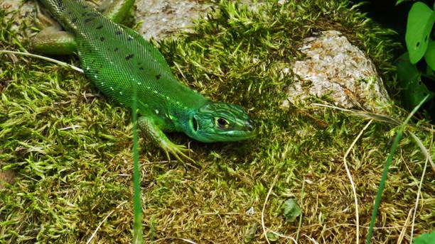 Western green lizard (lacerta bilineata)