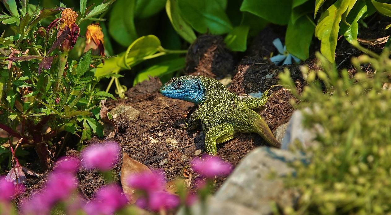 Westliche Smaragdeidechse | Lacerta Bilineata | Adultes Männchen Im Blumenbeet | Mai 2021