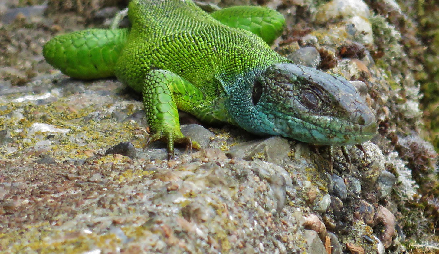 Western green lizard (lacerta bilineata), adult female, Monteggio, Malcantone, Ticino, June  2015