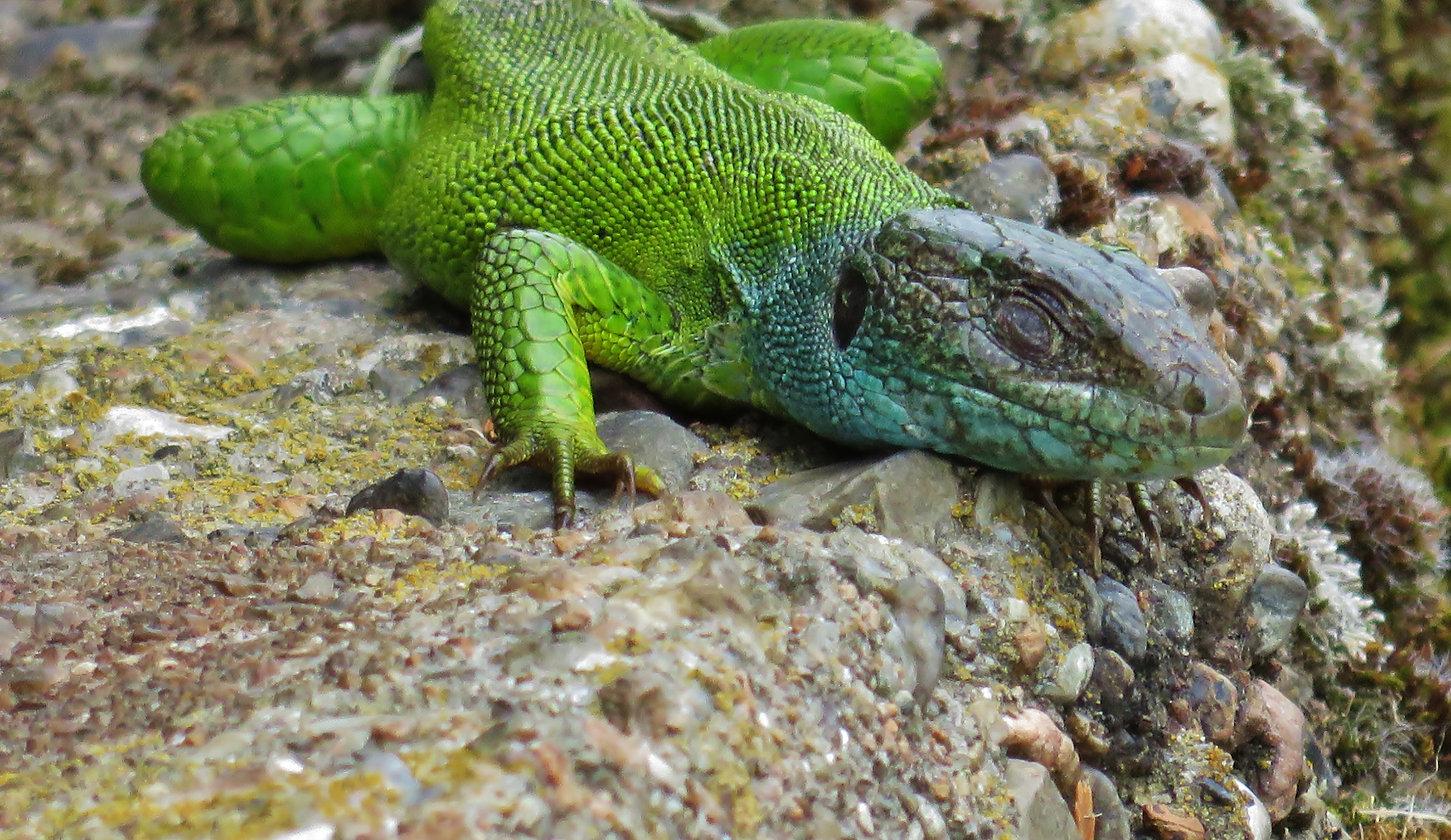 Western green lizard (lacerta bilineata), adult female, Monteggio, Malcantone, Ticino, June  2015