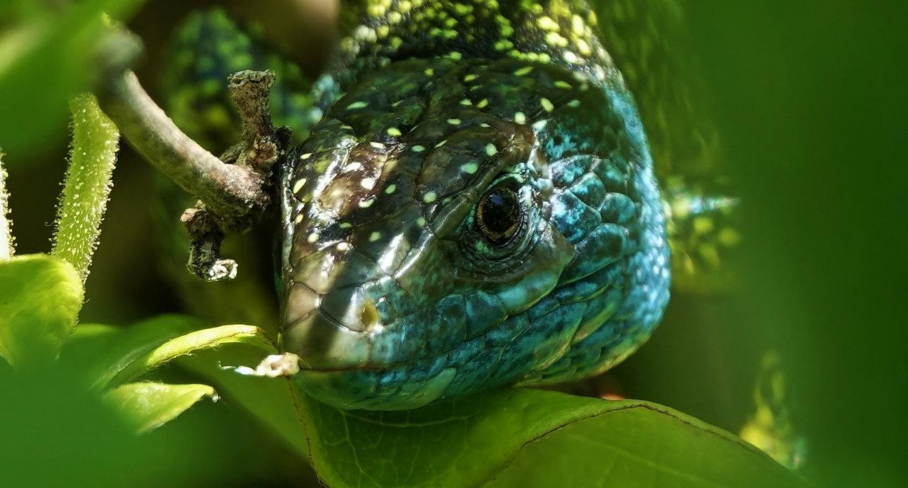 Westliche Smaragdeidechse | Lacerta Bilineata | Adultes Männchen | Ungewöhnliche Dunkle Variation | Mai 2021