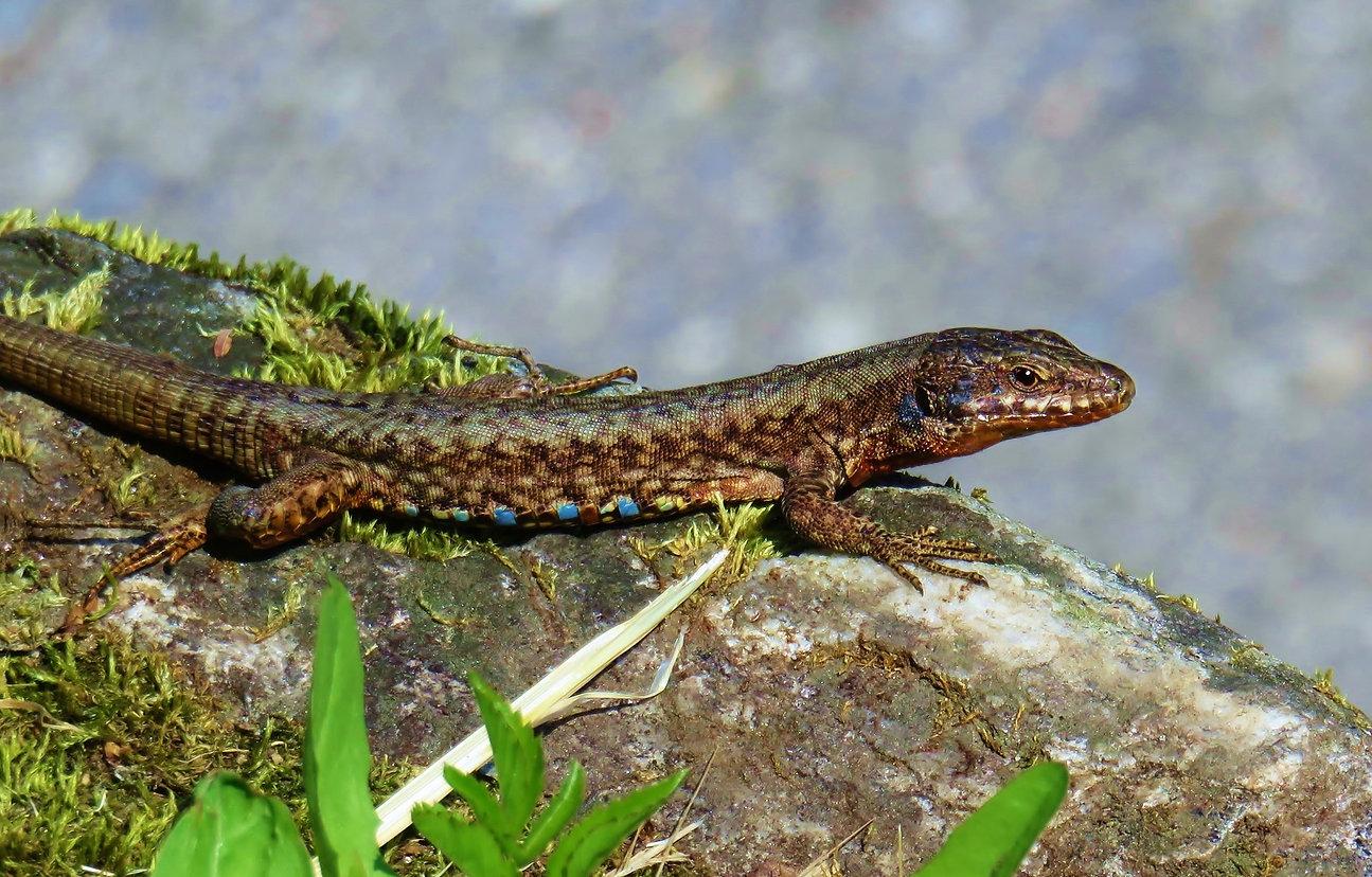 Common wall lizard (podarcis muralis) ad