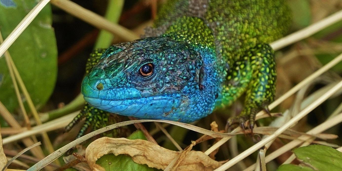 Westliche Smaragdeidechse | Lacerta Bilineata | Adultes Männchen Mit Leuchtend Blauem Kopf Während Paarungszeit | Mai 2021