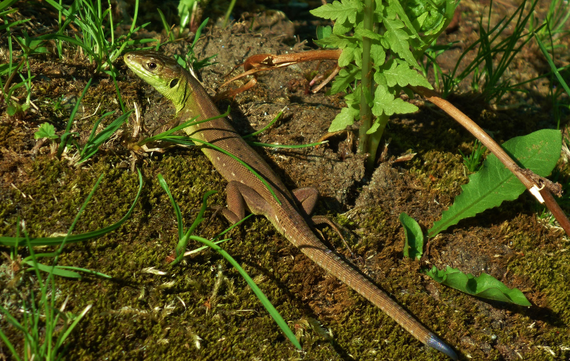 Western green lizard (lacerta bilineata), juvenile, Malcantone, Ticino, Switzerland, June 2014.jpg