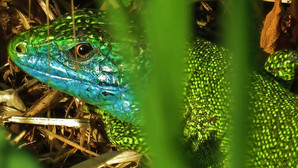 Western green lizard (lacerta bilineata), adult male, with blue facial colors typical for mating season, Malcantone, Ticino, May 2020