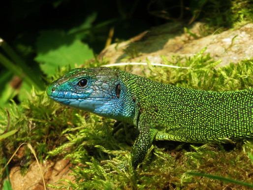 LACERTA BILINEATA ♂ The exotic beauty of a garden dragon...