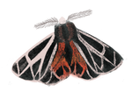Bugs - fluffmoth.png