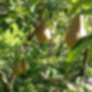 Birnen.jpg