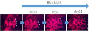 光に反応して、ランダムな方向に動く黒色細胞(赤く光っているのが、チャネルロドプシンの入った黒色細胞です>