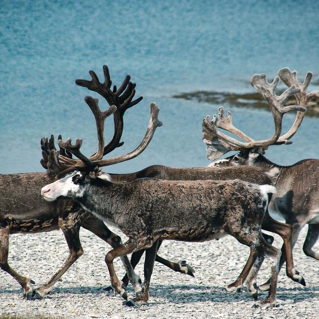 gregor-scheurer_reindeer.jpg