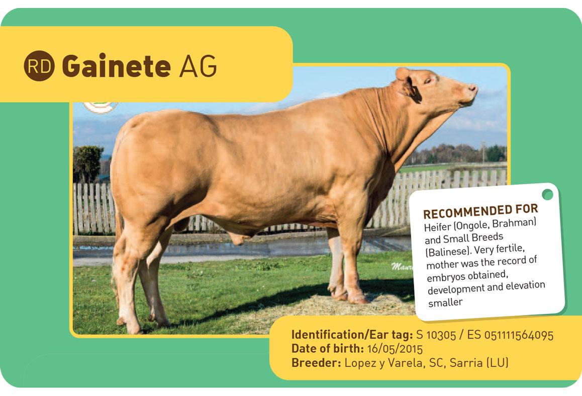 GAINETE-AG sapi Spanyol
