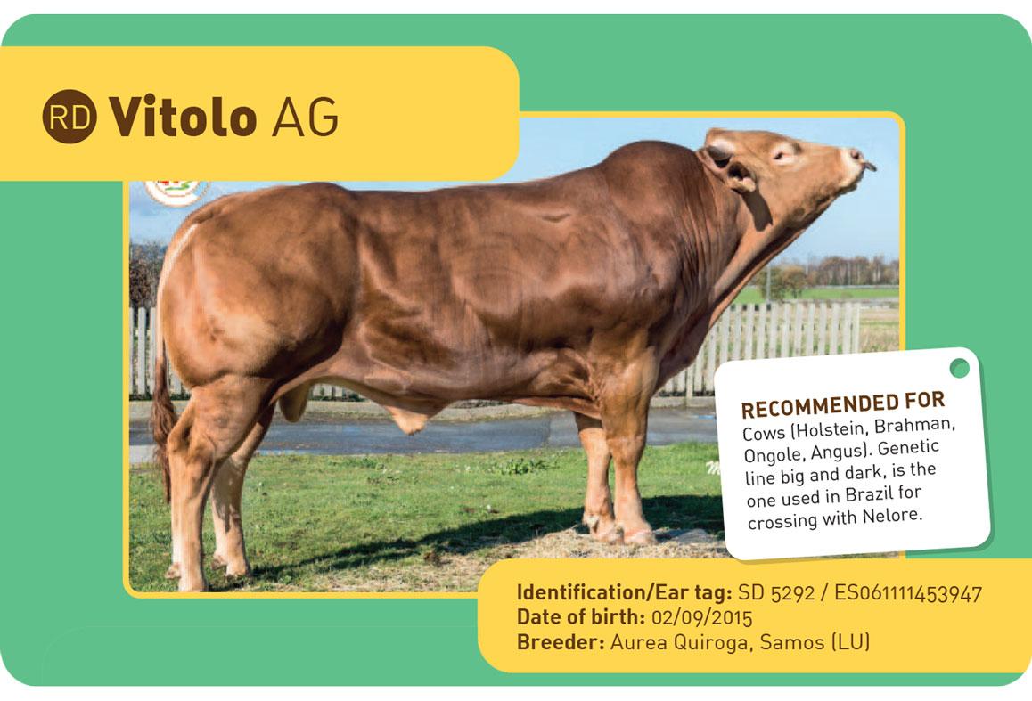 VITOLO-AG sapi Spanyol