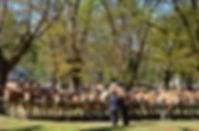 Peternakan sapi Galician blond
