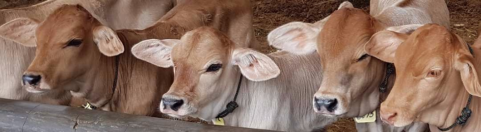 Petrenakan sapi cross breed Galician Blond