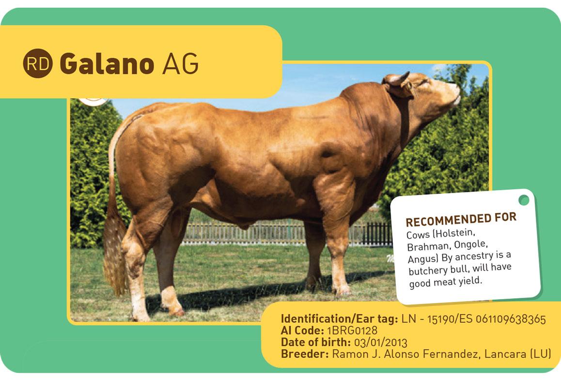GALANO-AG sapi Spanyol