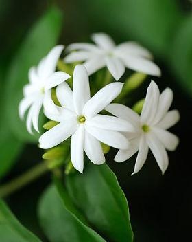 Jasmine-Meaning (1)_edited.jpg