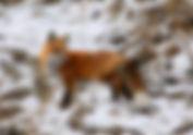 JW Fox.jpg