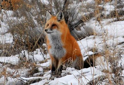 JW Fox 1.jpg