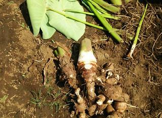 里芋掘り取り体験と豚汁