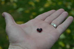 Elderberry Love!
