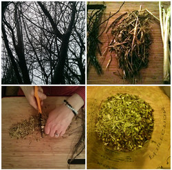 Harvest to Infusing Willow Bark