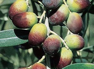 9ol01-olivo-leccino.jpg