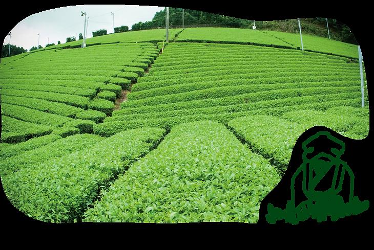 八女茶のはじまり物語