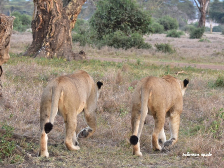 Collaborating for Better Conservation - Lion Landscapes and The Ruaha Carnivore Project Merge