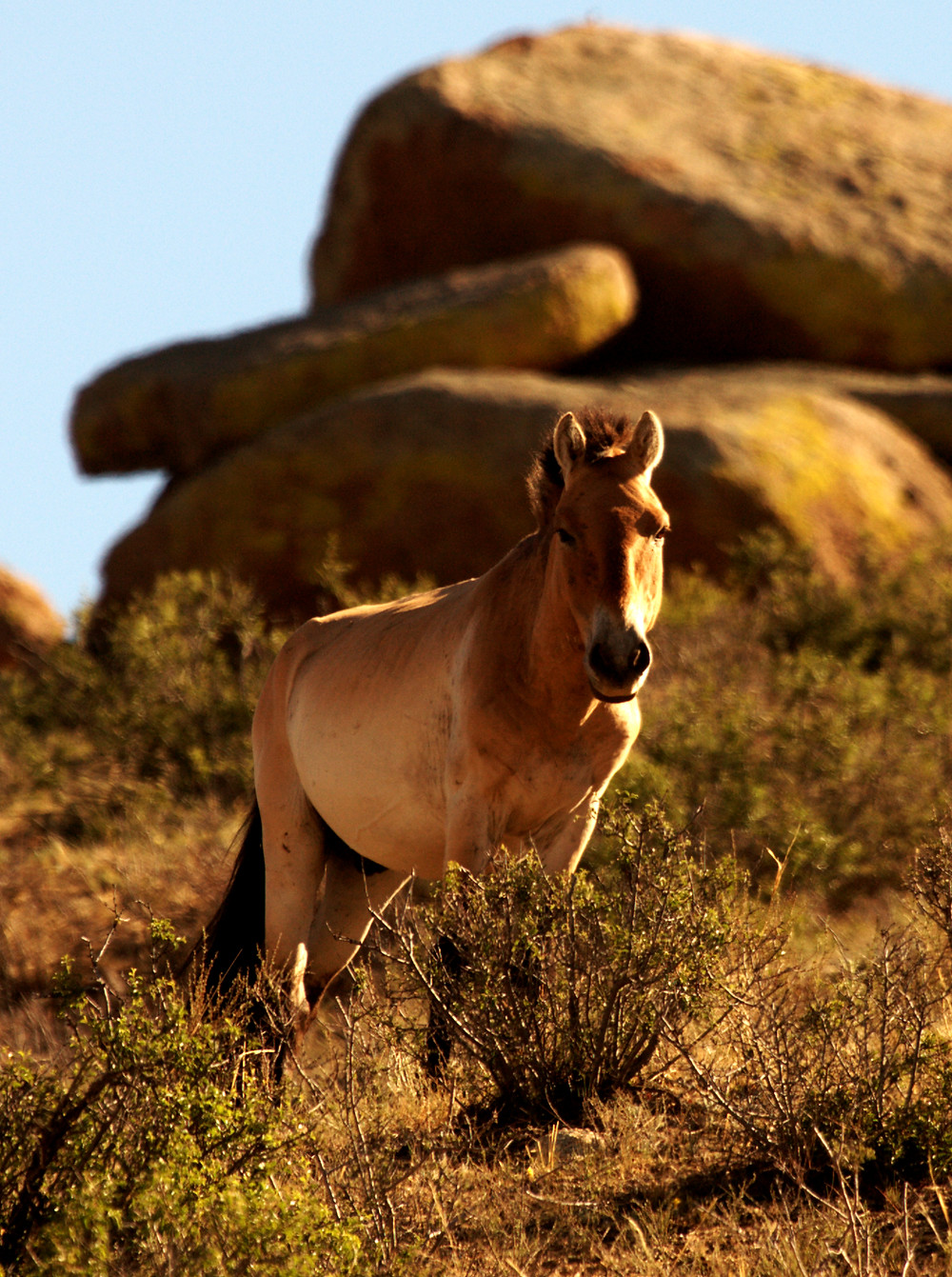 A bachelor male P-horse, off doing mysterious things unencumbered by a GPS collar