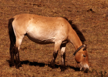 A female P-horse with a lovely GPS collar