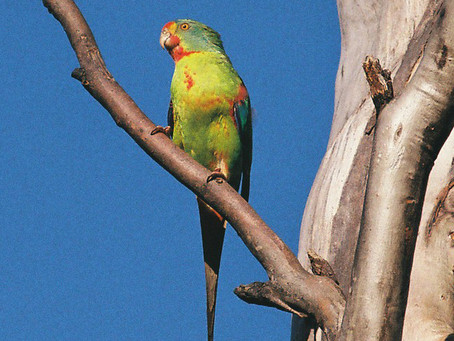 New Publication: Good Times, Bad Times - Tracking Endangered Parrots in Tasmania