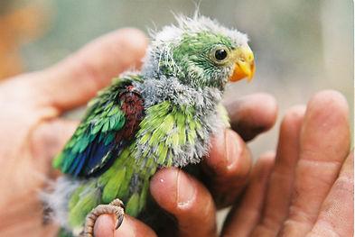 Swift Parrot Nestling 3.JPG