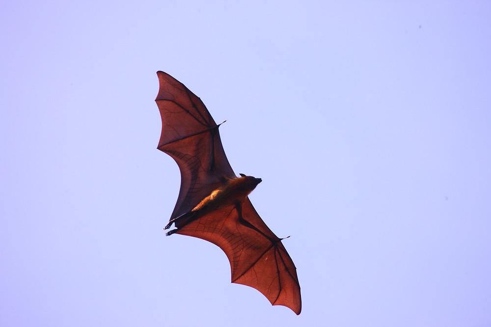 Indian Flying Fox (Pteropus giganteus)