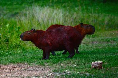 Capybara - Hydrochoerus hydrochaeris.JPG