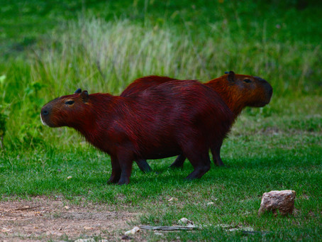 New Publication: Capybara in Human Modified Landscapes