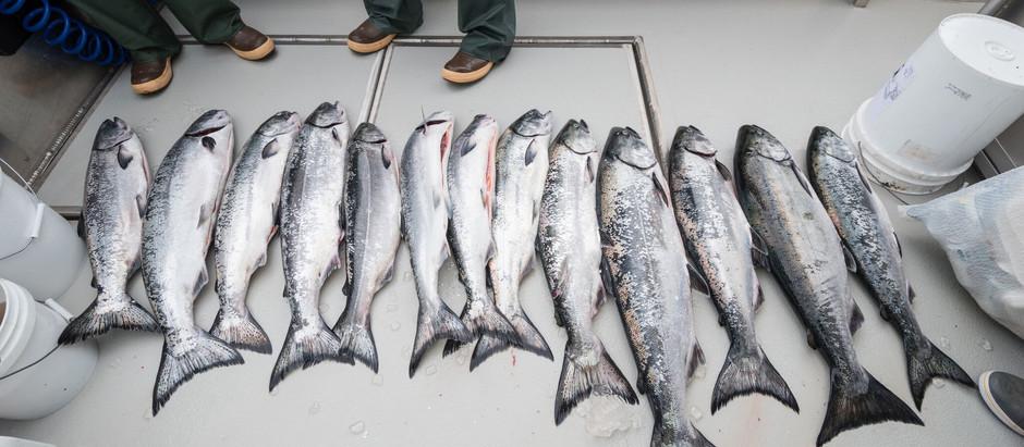 King Salmon Abundance Index & Sitka Sac Roe Fishery