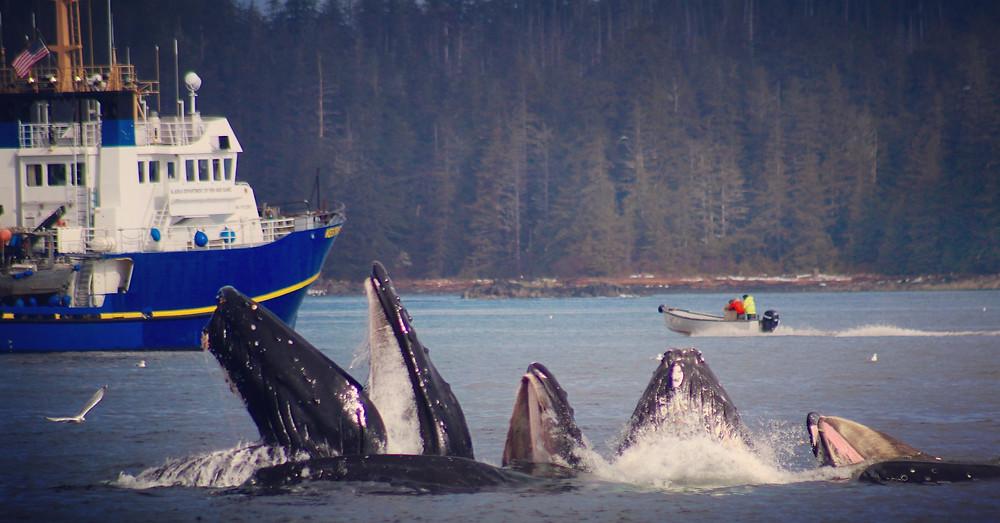 Sitka Fishing Charters, Sitka Alaska Fishing, Sitka Fishing, Saltwater Fishing Charters, Sportfishing charters Sitka