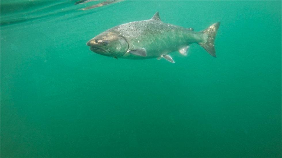 King-Salmon-Fishing.JPG
